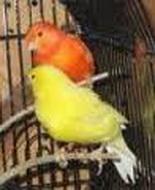 papagajska-groznica