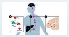 poremecaj-metabolizma-tirozina